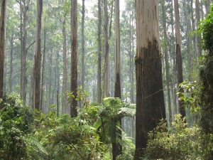 Across Gippsland, Yarra, Dandenong and the Otway Ranges are cool temperate rainforests of Australia that exist in patches