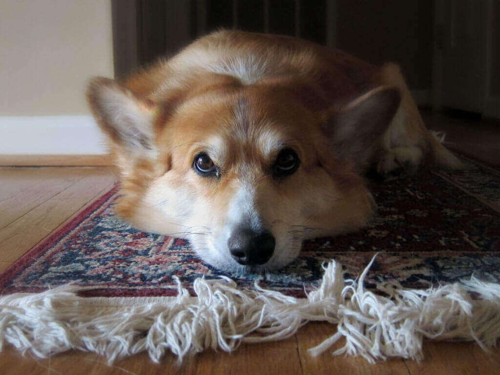 To get rid of fleas in your carpets, do not forget to treat your pets